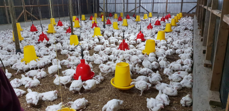 Broilers- affordable proteins